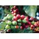 10 Capsules Brésil Compatibles Nespresso® Cafés Trottet